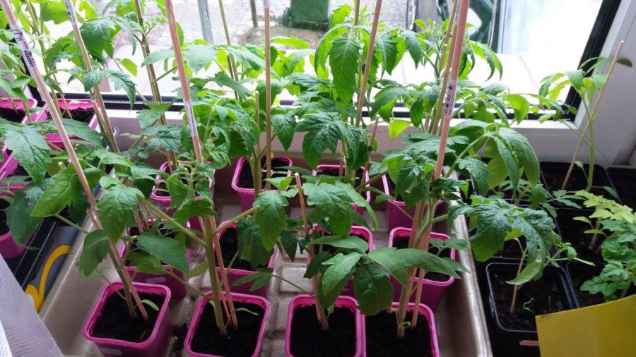 rozsada pomidorów szklarniowych