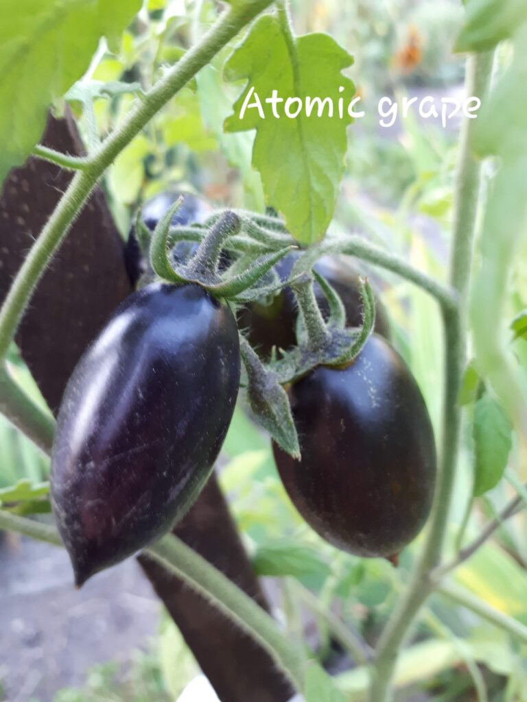 pomidor Brad's Atomic Grape
