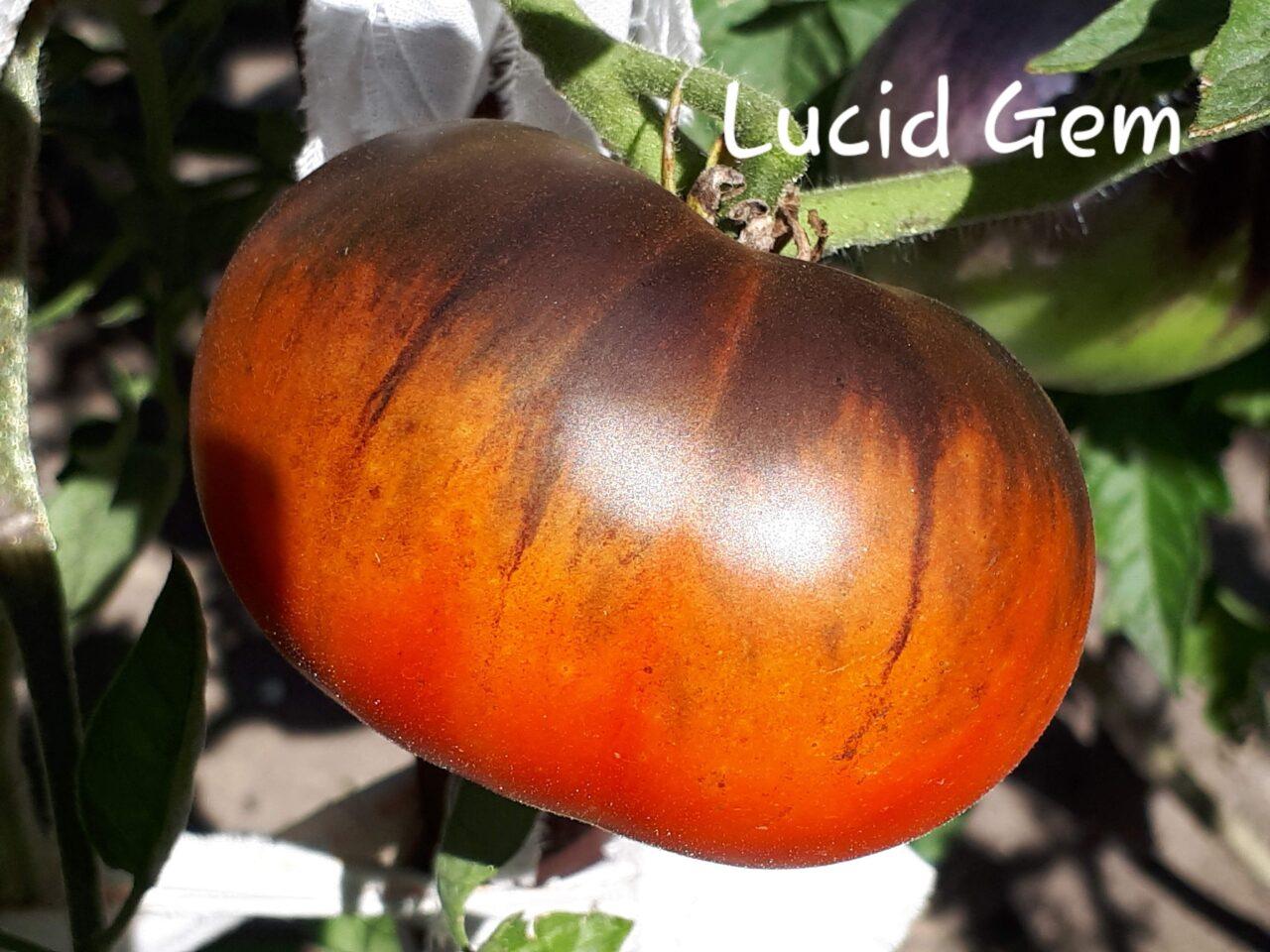 dojrzały pomidor Lucid Gem